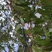 不思議な遅咲きの桜・・?