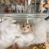 【PET PLEX日吉店】ハムちゃん紹介の画像