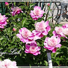 ピンク!ピンク!ピオニーとクレマチス◆きよらぼのお庭から花だよりの画像
