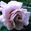 バラと人間の七変化アラフィフ なにゆうてんねん?ららちゃんの画像