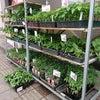 野菜の苗、入荷がはじまりましたよ!の画像