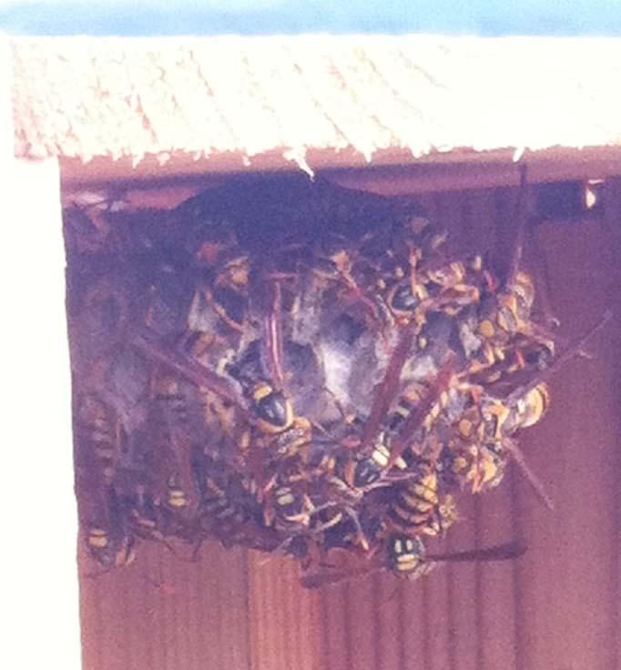 刺され る に アシナガバチ