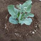 茎ブロッコリーとロマネスコの追肥の記事より