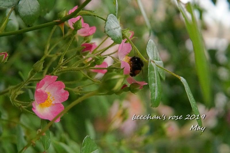 クロマルハナバチ 蜂 バレリーナ