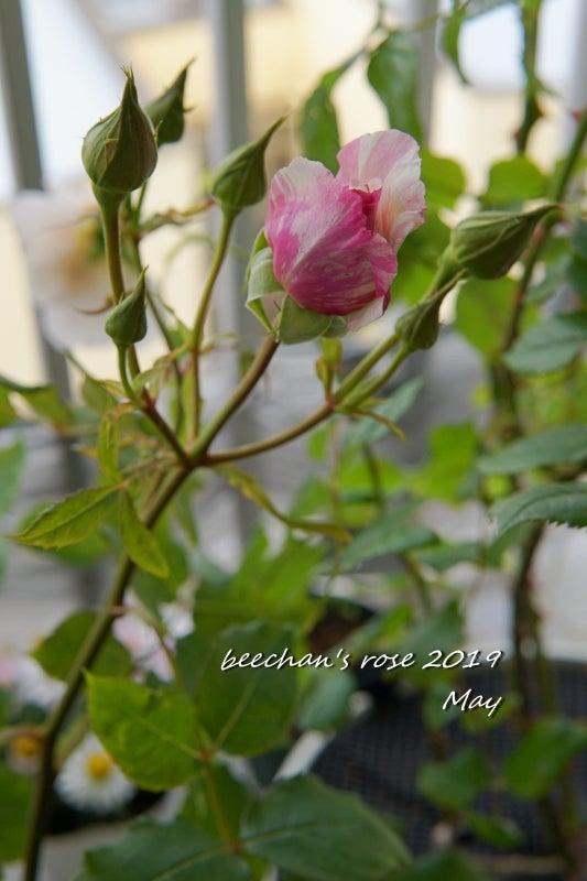 カメオ バラ 薔薇 蕾