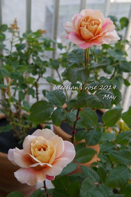 ディスタントドラムス バラ 薔薇