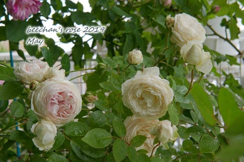 粉粧楼 クロチルドスーペル バラ 薔薇