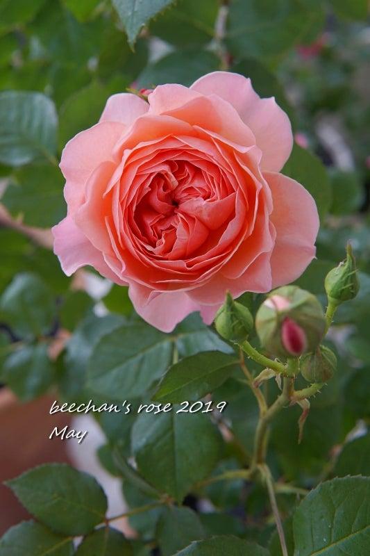 かおりかざり バラ 薔薇 開花