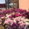 つつじの花が咲きました!の画像