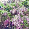 【きものde探検隊】天然記念物深山神社の藤を見に行こうin国見の画像