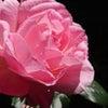 植物療法士の会 令和② バラの画像
