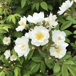 画像 海花亭前のツルバラが咲き始めました♪ の記事より 3つ目