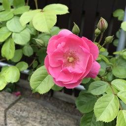 画像 海花亭前のツルバラが咲き始めました♪ の記事より 6つ目