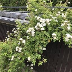 画像 海花亭前のツルバラが咲き始めました♪ の記事より 2つ目
