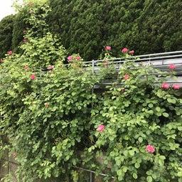 画像 海花亭前のツルバラが咲き始めました♪ の記事より 5つ目