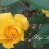 バラがいっぱい♡きよらぼのお庭から花だよりの画像