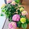 紫陽花とうにさんの画像