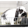 茨城県水戸市にあるウサギ販売店「プティラパン」 『ラテ』ベビー3/21生No,3のお食事風景の画像