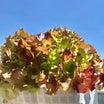 サニーレタスを水耕栽培  初めてベランダ栽培してみました♪