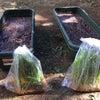 お庭でお米作りプロジェクト♪苗植えPart1の画像