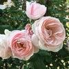 早起きは三文の徳〜早朝の薔薇園を独り占めの画像