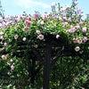 バラをこよなく愛すロザリアン入ります。    すでに終わってるねんの画像