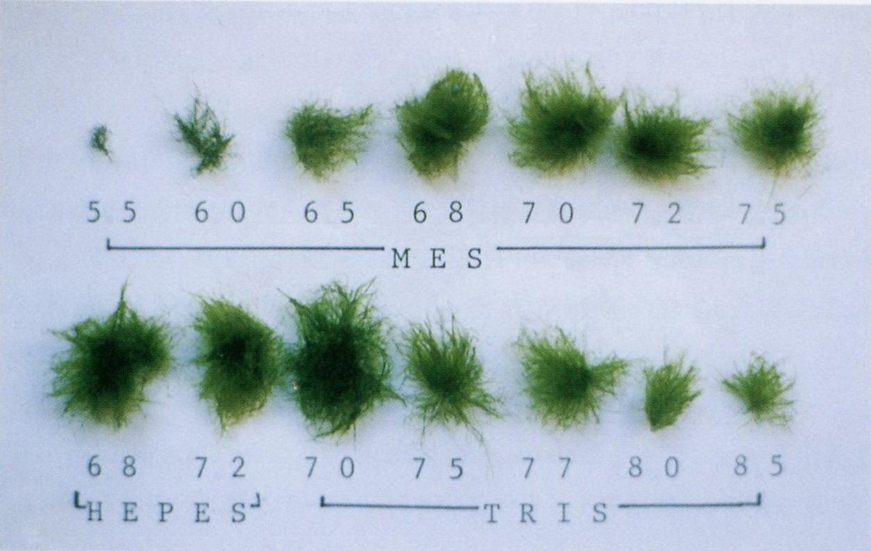 ③ マリモ糸状体の生長条件 | マリモ博士の研究日記