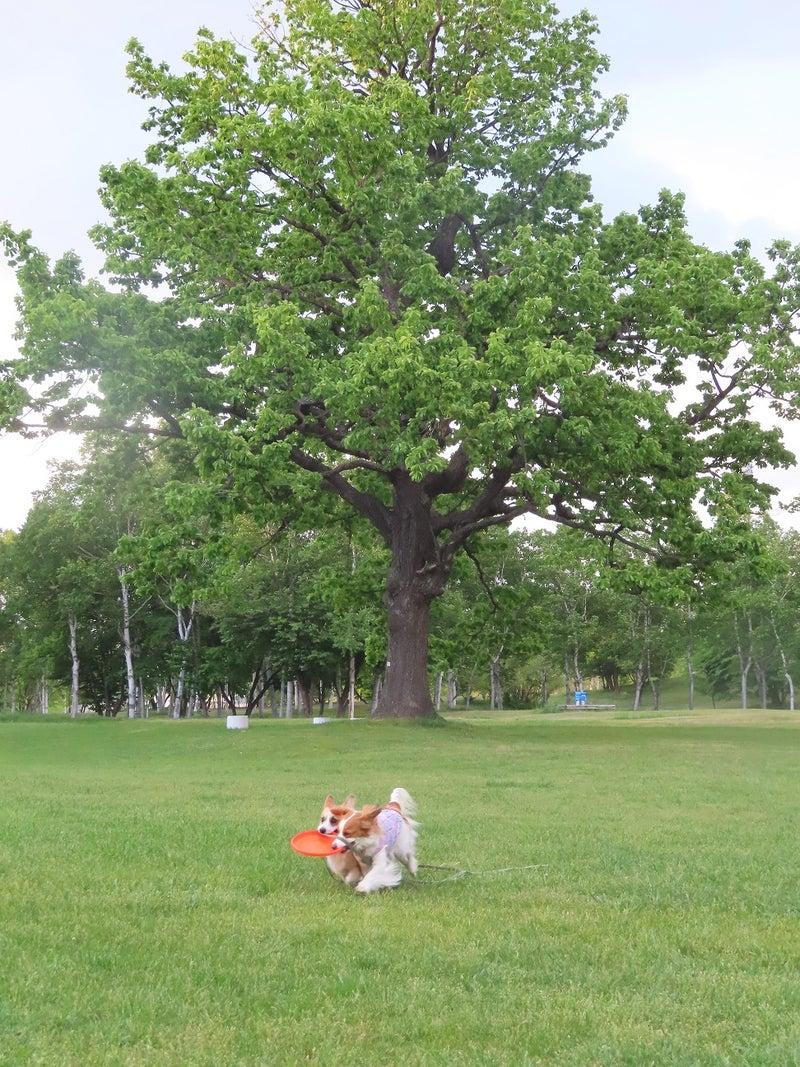 樹齢300年の柏の木の新緑