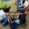 お庭でお米作りプロジェクト♪苗植えPart3の画像