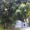 雨季です。マンゴーの木。フルーツ。の画像