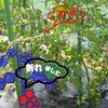 トマトの主枝が折れました!の画像