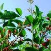 海紅豆の花咲く頃の画像