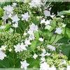 あじさい ◆きよらぼのお庭から花だよりの画像