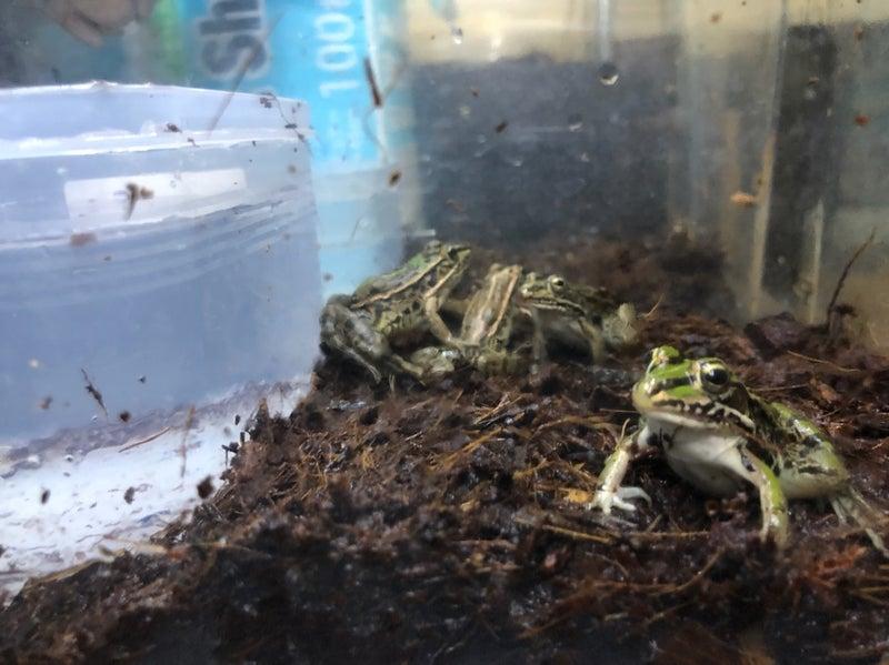 飼育 カエル ペットで人気のカエルの種類!飼育方法や値段、難易度は?