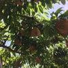 桃の袋かけと玉ねぎの収穫の画像