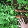 久米島での野菜づくり2019年5月末の画像