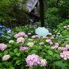 紫陽花と今週のシフト♪の画像
