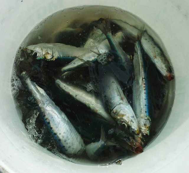 苫小牧「釣り吉よち」の釣果と情報ブログ