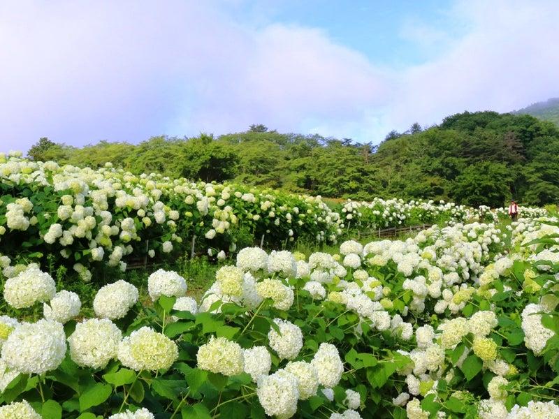 長瀞町 花の里『アナベル(白いあじさい)』