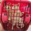 真っ白子猫3匹保護①保健所に連れていくって…