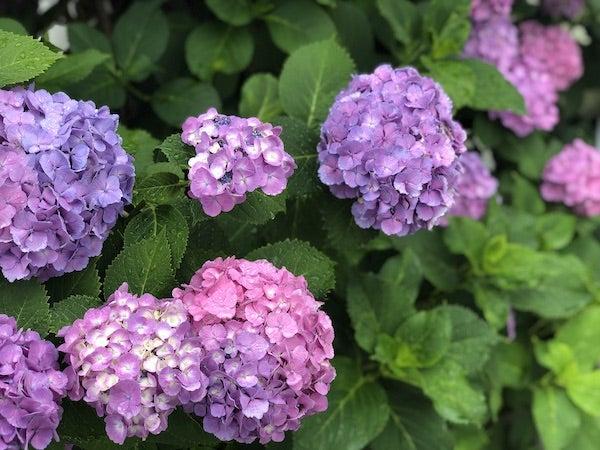 雨で喜んでいる紫陽花