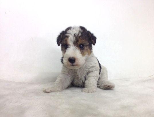 子犬販売 神奈川県
