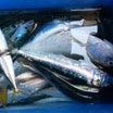 【大洗・金丸釣具店】本日6月16日(日)大洗港にサビキ釣りでがマイワシ・小サバが釣れた~♫