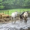 雨の日の馬たち