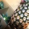 沖縄・西表島産のパイナップルは驚きの美味しさ!