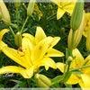 ユリが仲間入り◆きよらぼのお庭から花だよりの画像