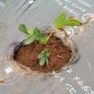 落花生の植え付けの記事より