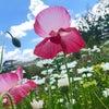 ナカターシャンの梅雨の晴れ間のお庭の画像
