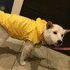 犬のレインコートにフードって・・・必要?の画像