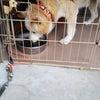 緊急❗️❗️飼い主様がお亡くなりになり取り壊される家に1人ぼっちの11歳のミックス犬ミッキー君の画像